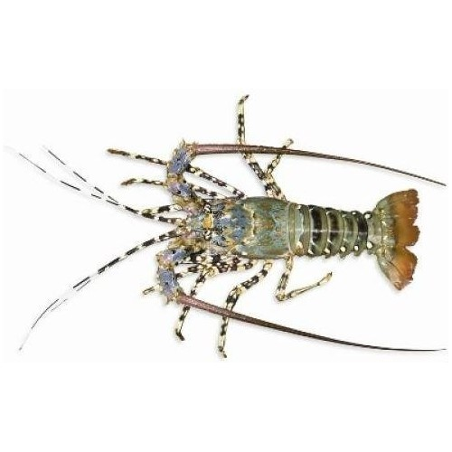 AUS Wild Caught Tropical Rock Lobster - Whole (1 - 1.1kg/pc)