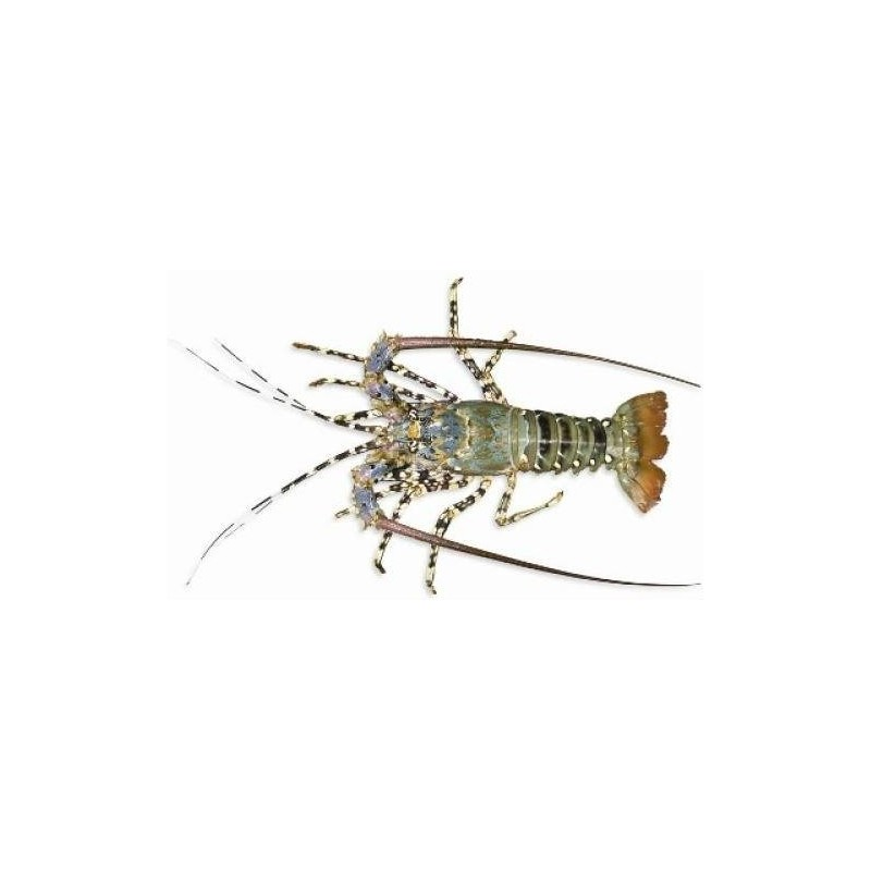 Tropical Rock Lobster - Whole (1 - 1.1kg/pc)